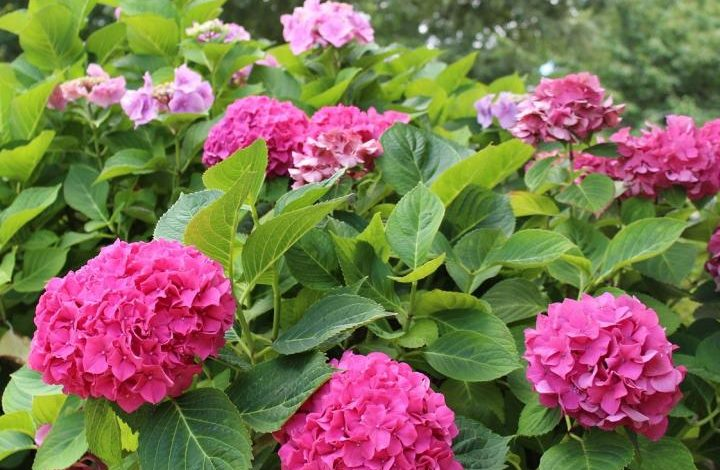 Benefit and uses of hydrangeas